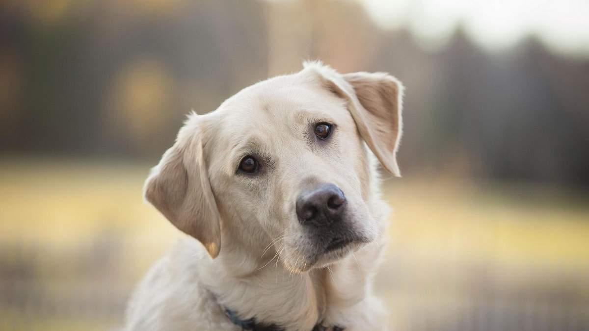 Собаки могут подчиняться работам
