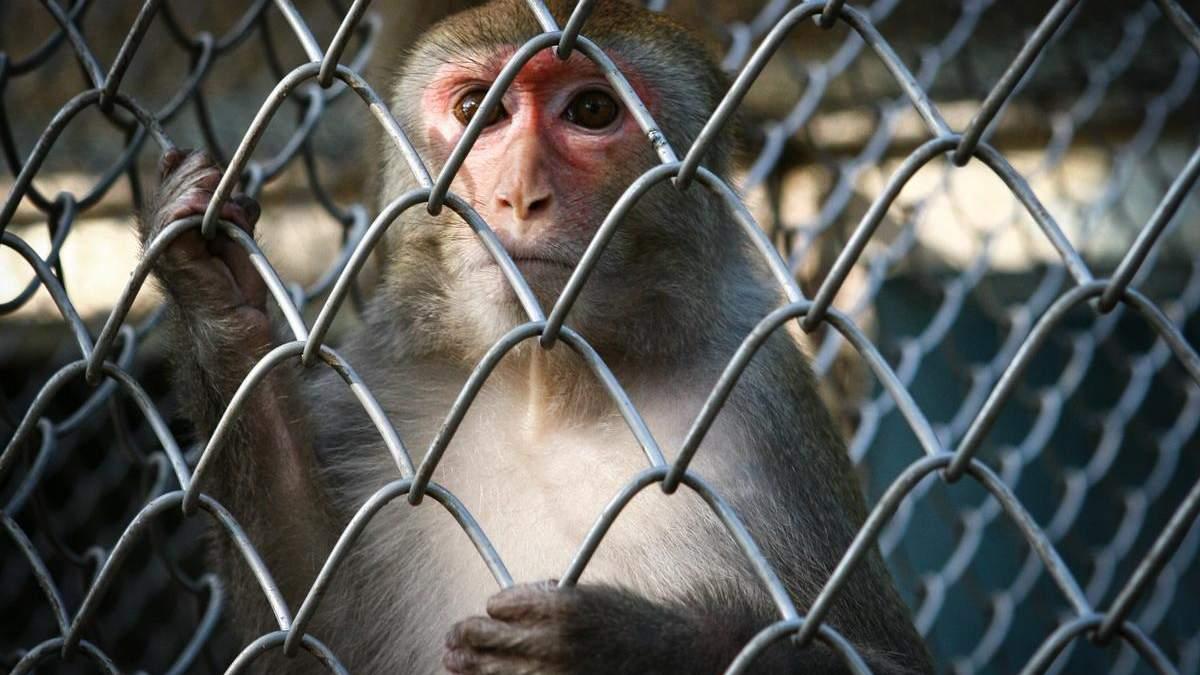 Мавпам передали зображення прямо в мозок за допомогою імпланта