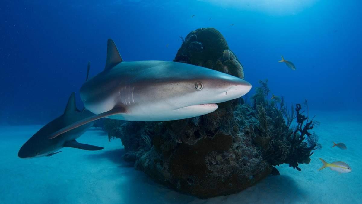 Вчені з'ясували, що течії допомагають акулам відпочивати