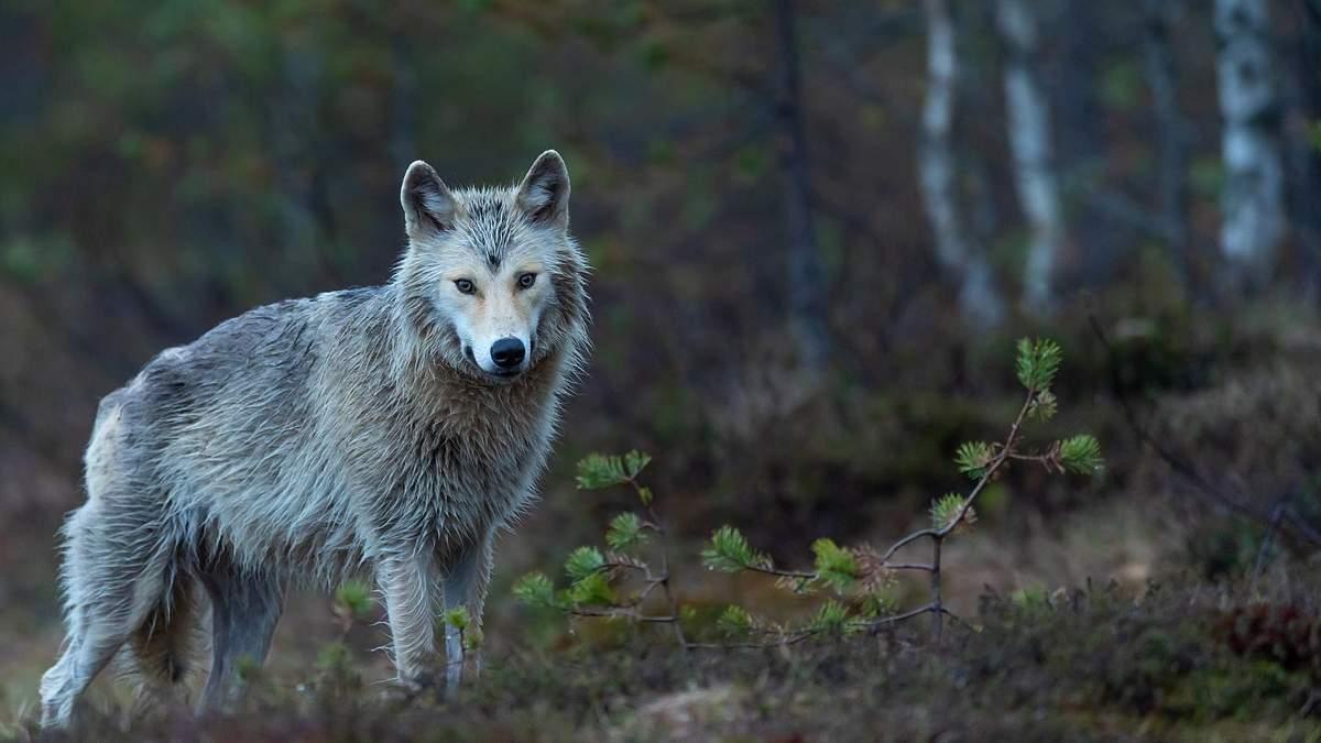 Приручение собаки: чем собаки отличаются от волков