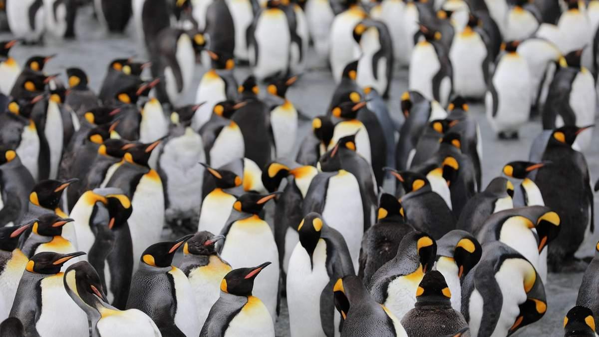 У Новій Зеландії відкрили новий вид велетенських пінгвінів - Новини технологій - Техно