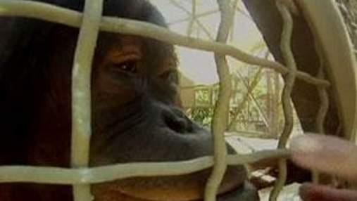 В зоопарку Маямі орангутанги спілкуються з допомогою iPad