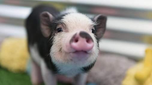 Людські органи планують вирощувати на свинях