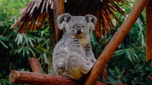 Штучний інтелект стежитиме за коалами у дикій природі: для чого