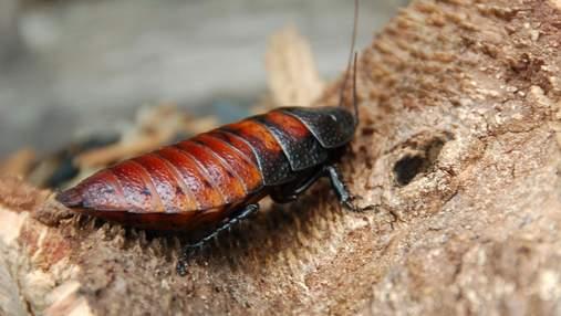 Ученые научили управляемого таракана-киборга искать людей
