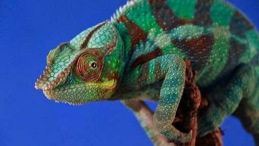 Робот-хамелеон меняет цвета так же быстро, как и живое животное