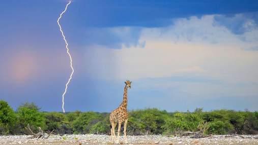У жирафів вищий шанс отримати удар блискавкою: правда чи вигадка
