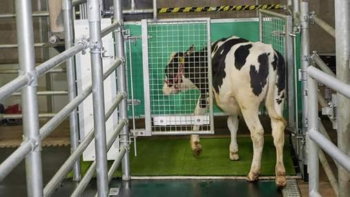 У Німеччині вчені навчили корів користуватися вбиральнею