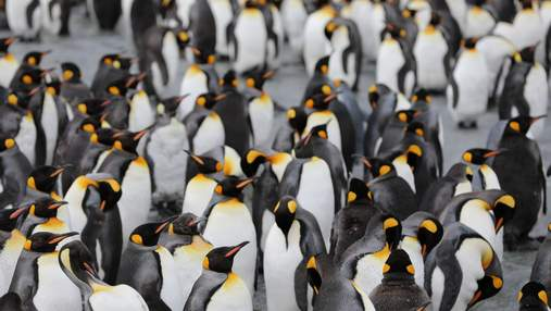 У Новій Зеландії відкрили новий вид велетенських пінгвінів