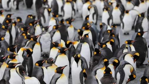 В Новой Зеландии открыли новый вид гигантских пингвинов