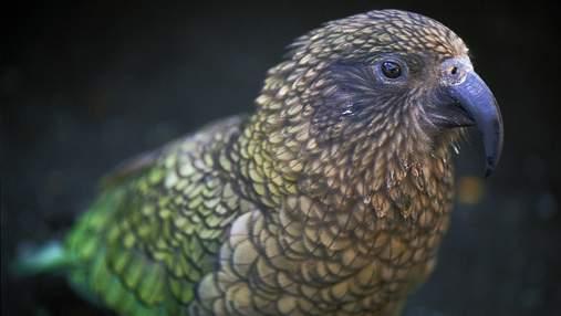 Чи сприймають папуги Кеа реальний та віртуальний світ як єдиний: дослідження