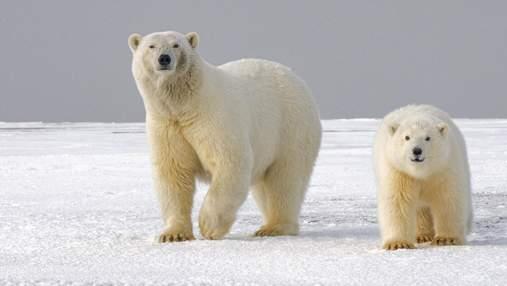 Білі ведмеді можуть зникнути з лиця Землі вже до кінця століття
